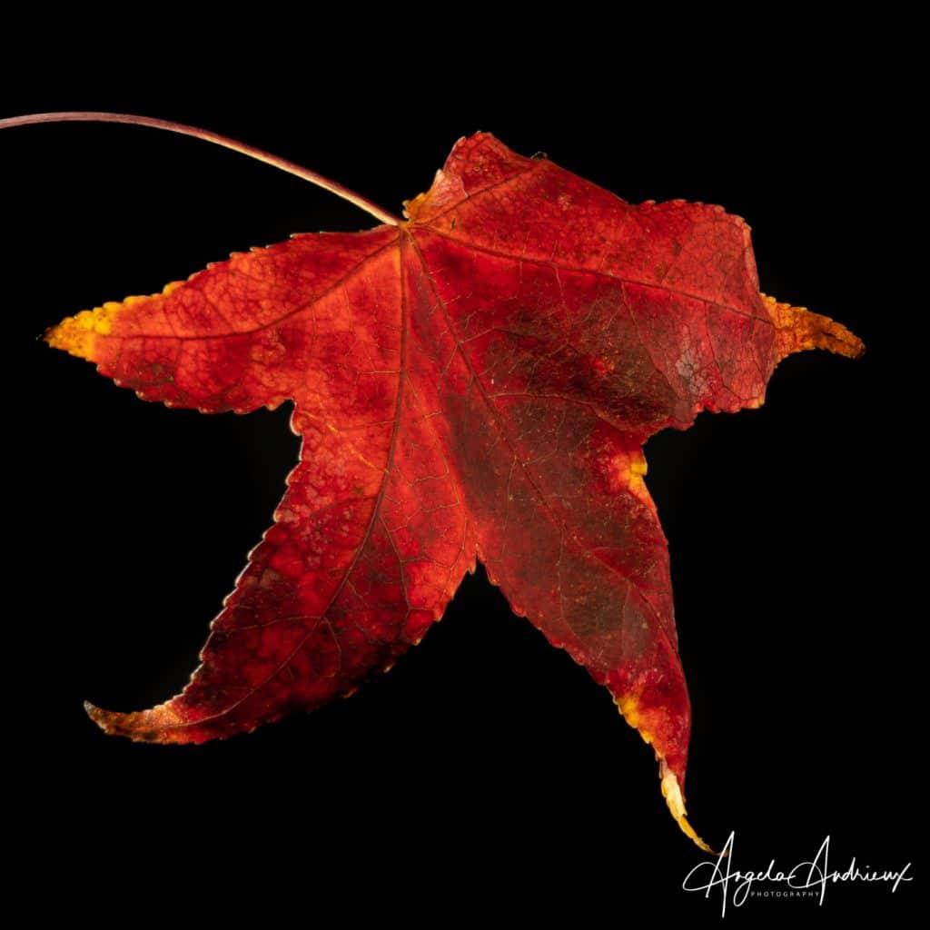 Portraits of Fall Leaves