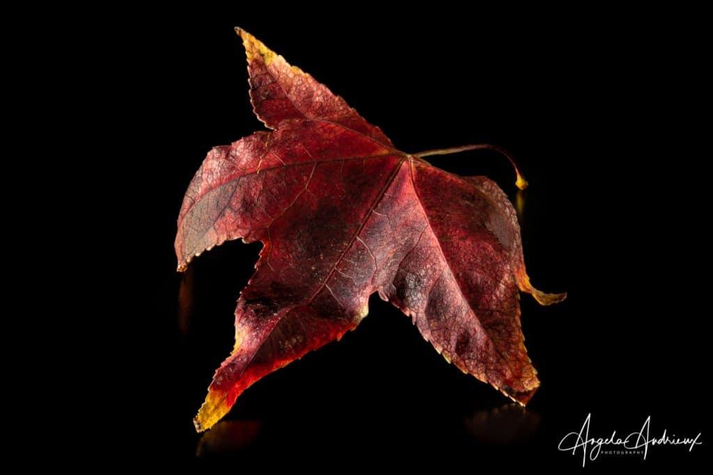 Portrait of a red Fallen Autumn Leave