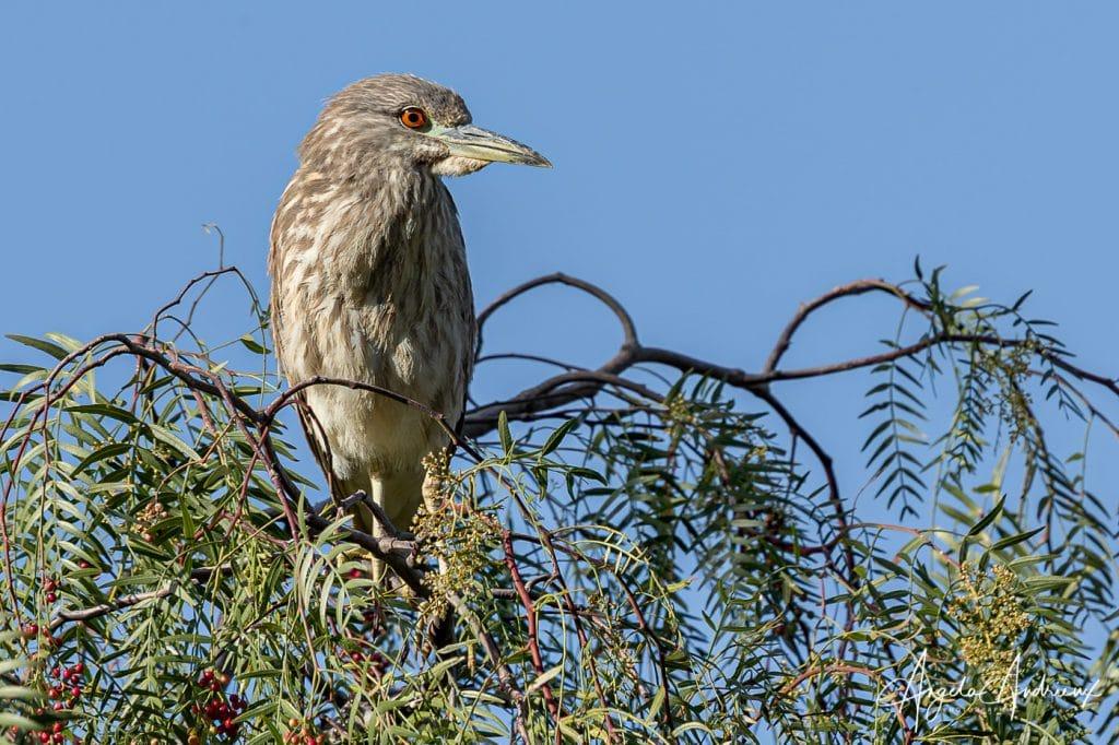Bird on a Peppertree branch