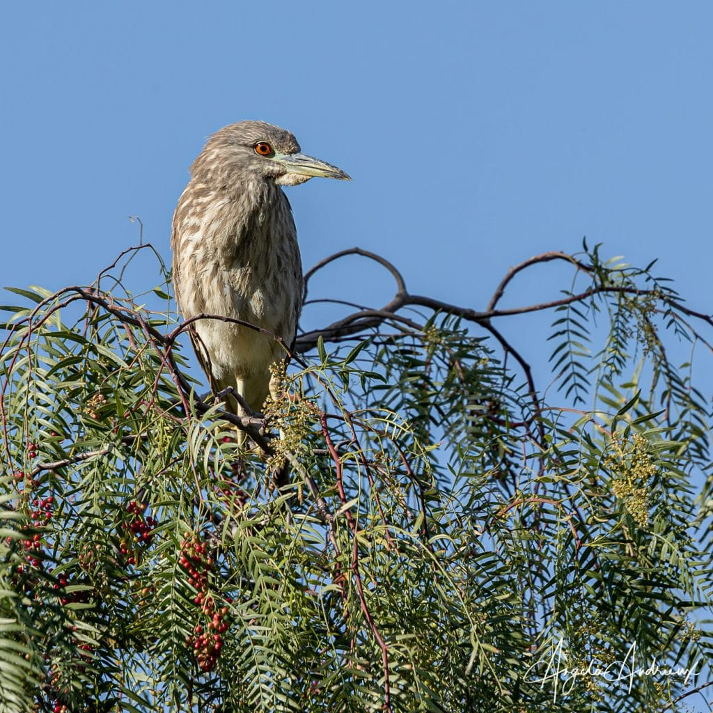 Juvenile Night Heron on a Peppertree Branch   Enlarge your photo with Topaz Gigapixel AI